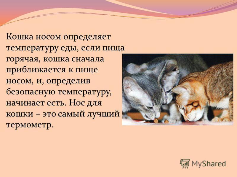 Кошка носом определяет температуру еды, если пища горячая, кошка сначала приближается к пище носом, и, определив безопасную температуру, начинает есть. Нос для кошки – это самый лучший термометр.