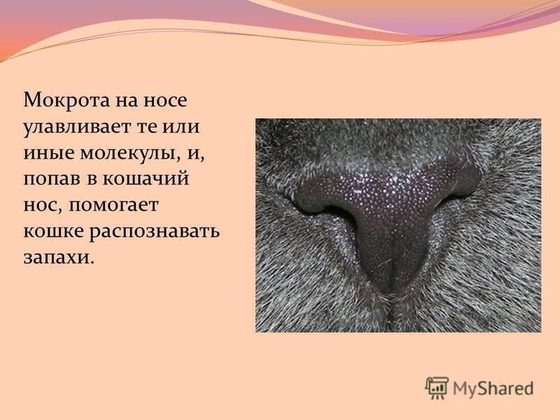 Мокрота на носе улавливает те или иные молекулы, и, попав в кошачий нос, помогает кошке распознавать запахи.