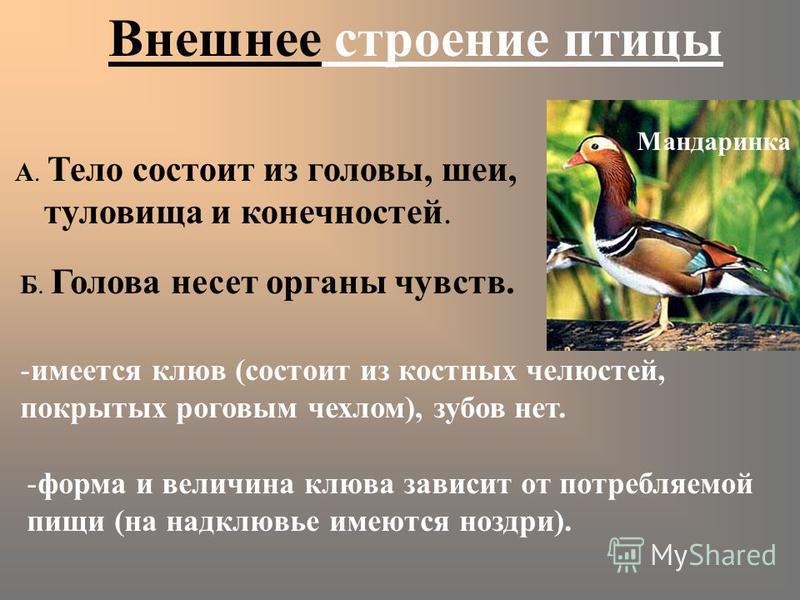 Внешнее строение птицы А. Тело состоит из головы, шеи, туловища и конечностей. Б. Голова несет органы чувств. -имеется клюв (состоит из костных челюстей, покрытых роговым чехлом), зубов нет. -форма и величина клюва зависит от потребляемой пищи (на на