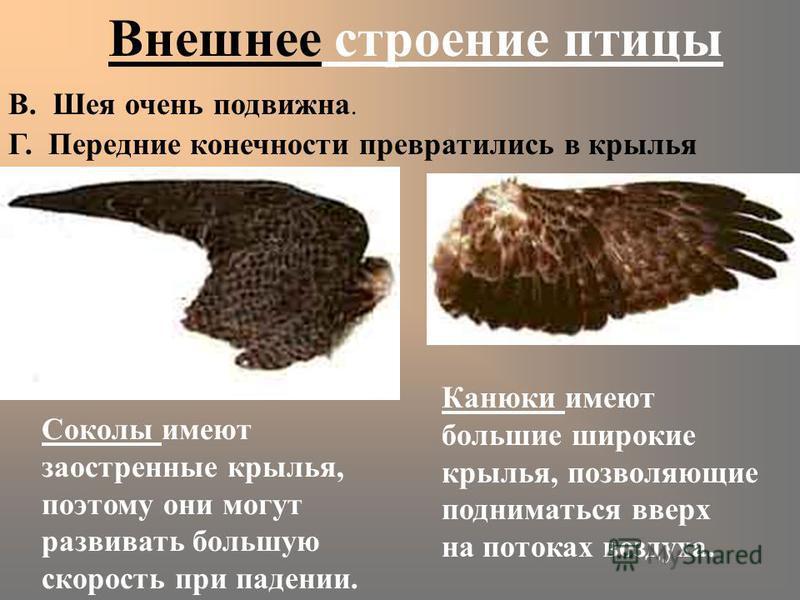 Внешнее строение птицы В. Шея очень подвижна. Г. Передние конечности превратились в крылья Канюки имеют большие широкие крылья, позволяющие подниматься вверх на потоках воздуха. Соколы имеют заостренные крылья, поэтому они могут развивать большую ско