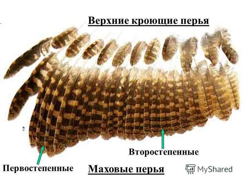 Верхние кроющие перья Маховые перья Первостепенные Второстепенные