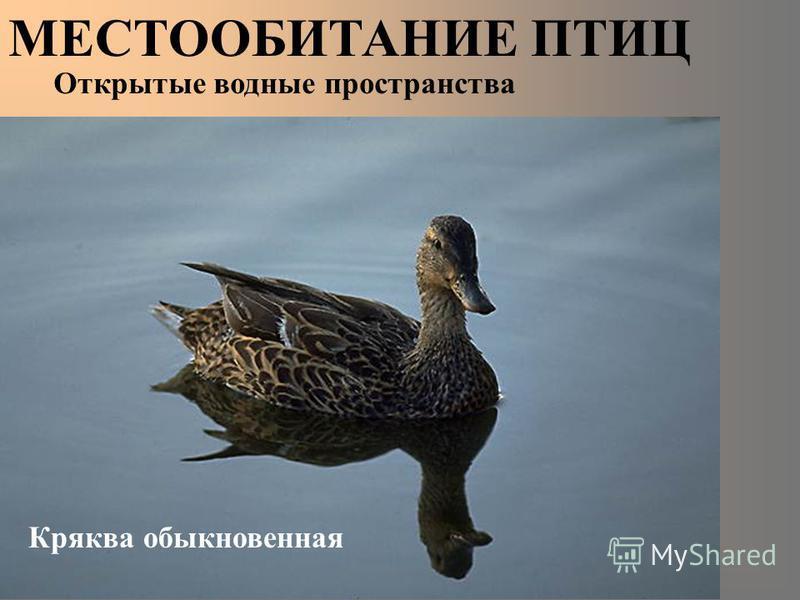 МЕСТООБИТАНИЕ ПТИЦ Кряква обыкновенная Открытые водные пространства