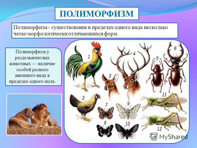 ПОЛИМОРФИЗМ Полиморфизм - существование в пределах одного вида несколько четко морфологически отличающихся форм. Полиморфизм у раздельнополых животных наличие особей разного внешнего вида в пределах одного пола.