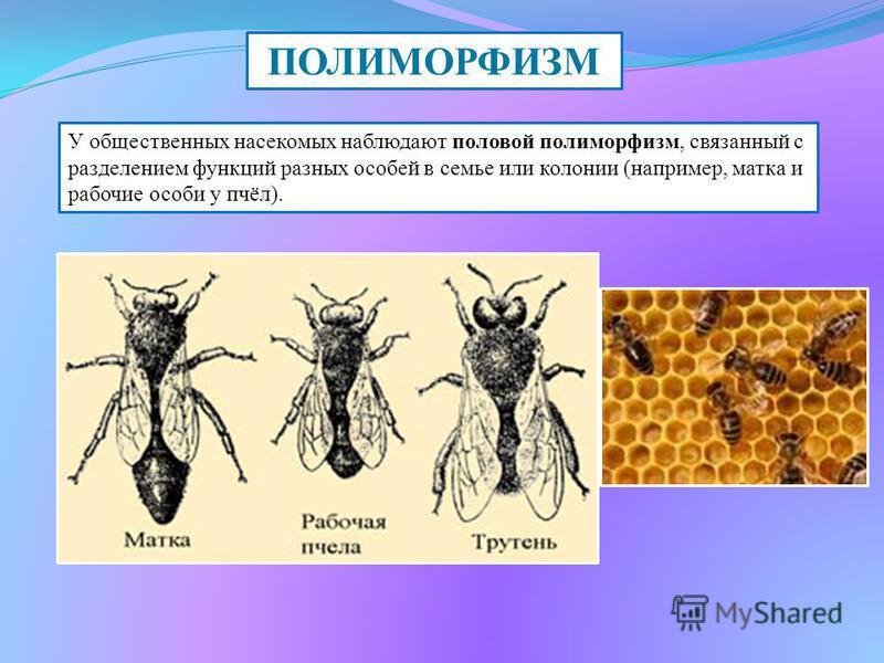 ПОЛИМОРФИЗМ У общественных насекомых наблюдают половой полиморфизм, связанный с разделением функций разных особей в семье или колонии (например, матка и рабочие особи у пчёл).