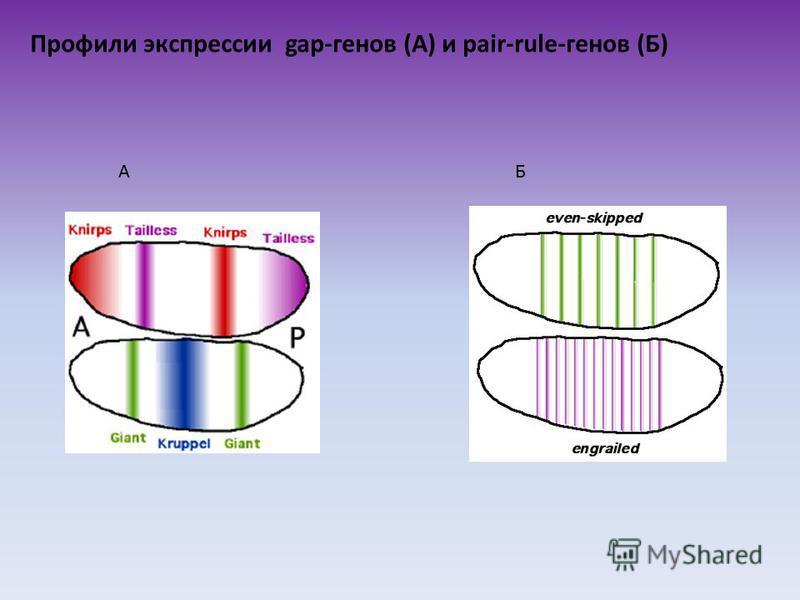 Профили экспрессии gap-генов (А) и pair-rule-генов (Б) АБ