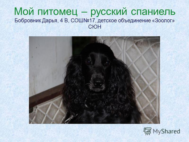 Мой питомец – русский спаниель Бобровник Дарья, 4 В, СОШ17, детское объединение «Зоолог» СЮН