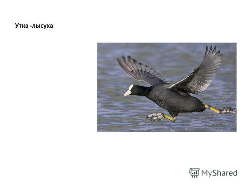 Утка -лысуха