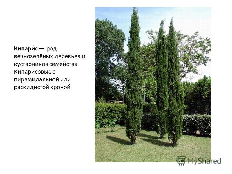 Кипари́с род вечнозелёных деревьев и кустарников семейства Кипарисовые с пирамидальной или раскидистой кроной