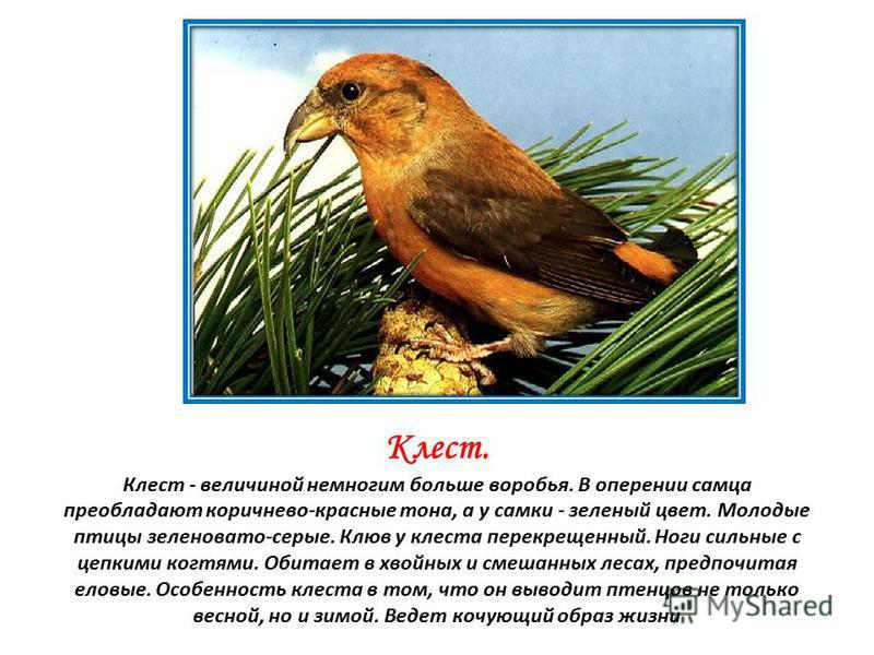 Клест. Клест - величиной немногим больше воробья. В оперении самца преобладают коричнево-красные тона, а у самки - зеленый цвет. Молодые птицы зеленовато-серые. Клюв у клеста перекрещенный. Ноги сильные с цепкими когтями. Обитает в хвойных и смешанны