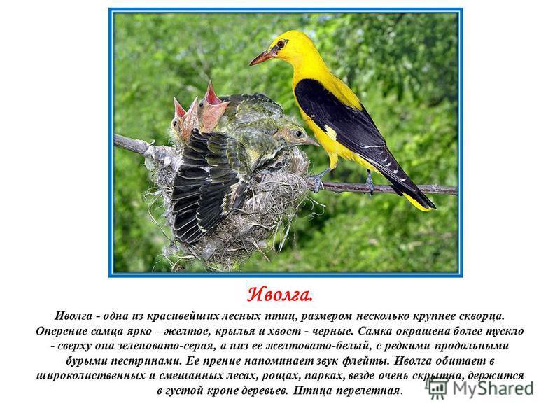Иволга. Иволга - одна из красивейших лесных птиц, размером несколько крупнее скворца. Оперение самца ярко – желтое, крылья и хвост - черные. Самка окрашена более тускло - сверху она зеленовато-серая, а низ ее желтовато-белый, с редкими продольными бу