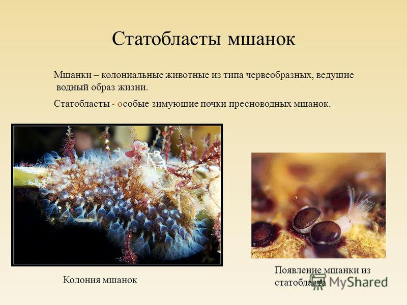 Статобласты мшанок Мшанки – колониальные животные из типа червеобразных, ведущие водный образ жизни. Статобласты - особые зимующие почки пресноводных мшанок. Колония мшанок Появление мшанки из статобласта