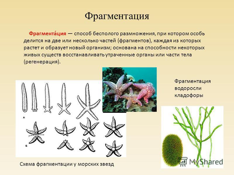 Фрагментация Фрагмента́ция способ бесполого размножения, при котором особь делится на две или несколько частей (фрагментов), каждая из которых растет и образует новый организм; основана на способности некоторых живых существ восстанавливать утраченны
