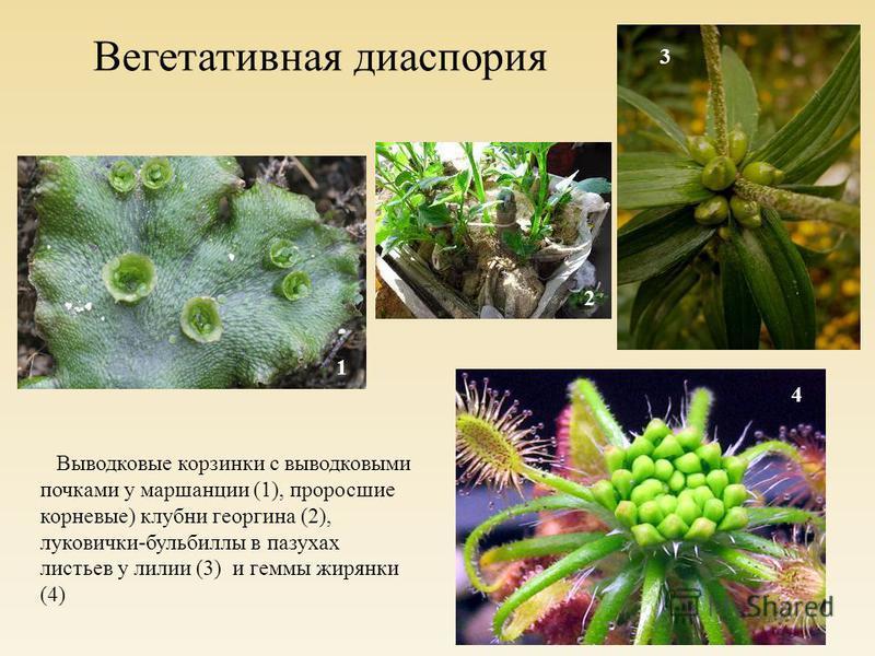 Вегетативная диаспория Выводковые корзинки с выводковыми почками у маршанции (1), проросшие корневые) клубни георгина (2), луковички-бульбиллы в пазухах листьев у лилии (3) и геммы жирянки (4) 1 2 3 4