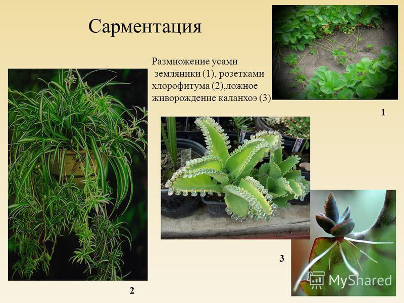 Сарментация Размножение усами земляники (1), розетками хлорофитума (2),ложное живорождение каланхоэ (3) 1 2 3