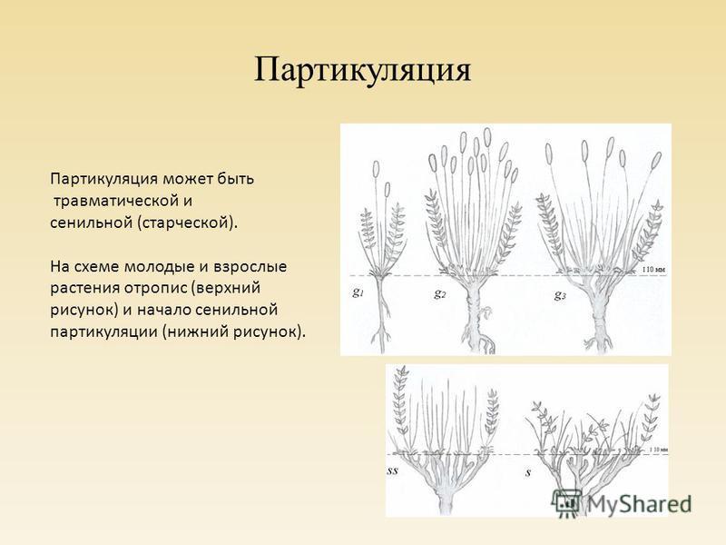 Партикуляция Партикуляция может быть травматической и сенильной (старческой). На схеме молодые и взрослые растения торопись (верхний рисунок) и начало сенильной партикуляции (нижний рисунок).
