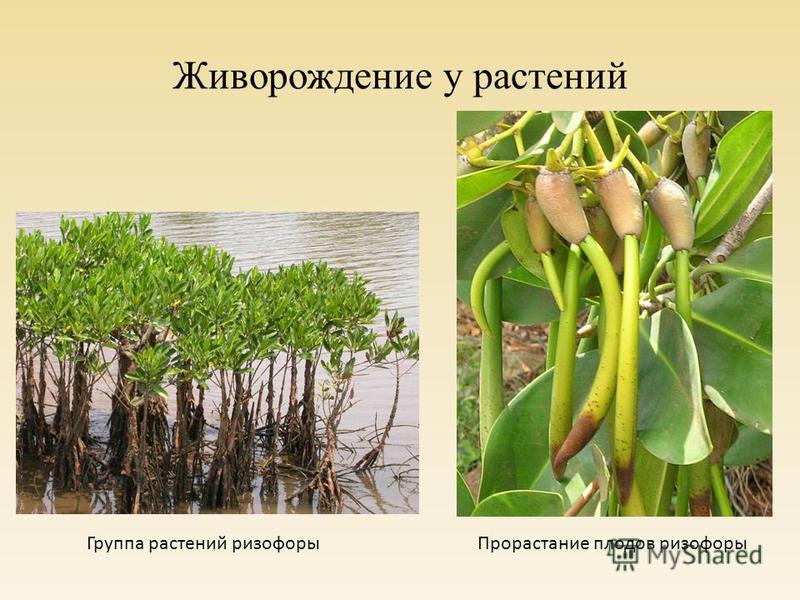 Живорождение у растений Группа растений ризофоры Прорастание плодов ризофоры