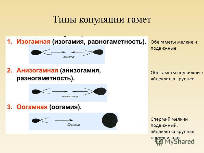 Типы копуляции гамет Обе гаметы мелкие и подвижные Обе гаметы подвижные яйцеклетка крупнее Спермий мелкий подвижный, яйцеклетка крупная неподвижная