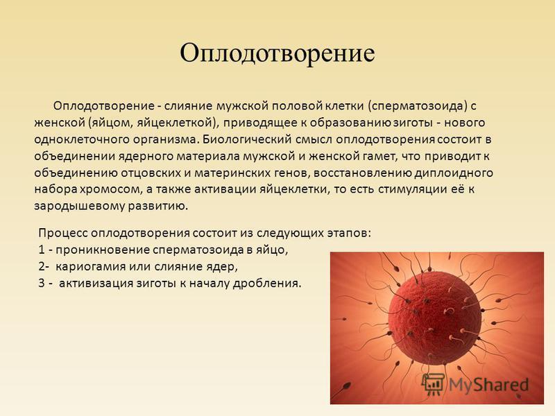 Оплодотворение Процесс оплодотворения состоит из следующих этапов: 1 - проникновение сперматозоида в яйцо, 2- кариогамия или слияние ядер, 3 - активизация зиготы к началу дробления. Оплодотворение - слияние мужской половой клетки (сперматозоида) с же