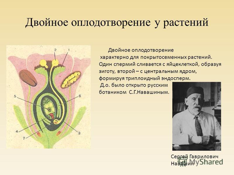 Двойное оплодотворение у растений Сергей Гаврилович Навашин Двойное оплодотворение характерно для покрытосеменных растений. Один спермий сливается с яйцеклеткой, образуя зиготу, второй – с центральным ядром, формируя триплоидный эндосперм. Д.о. было