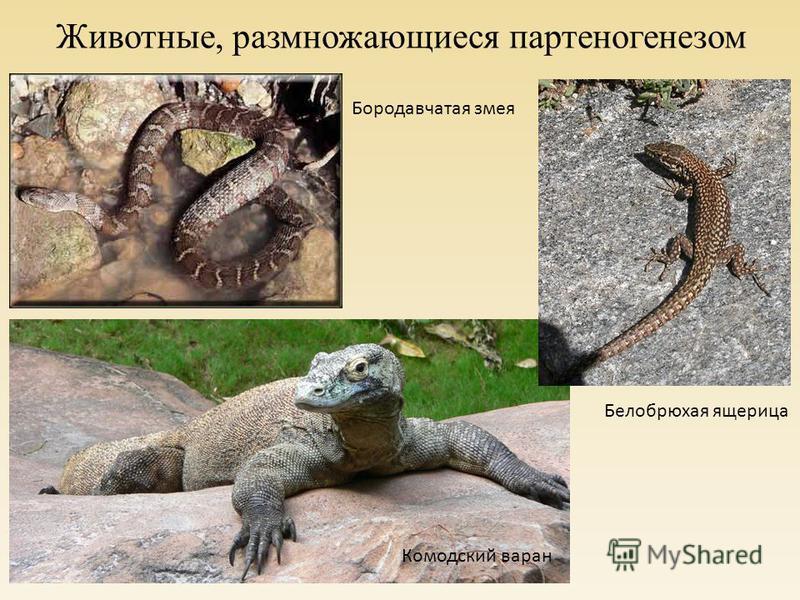 Животные, размножающиеся партеногенезом Белобрюхая ящерица Бородавчатая змея Комодский варан
