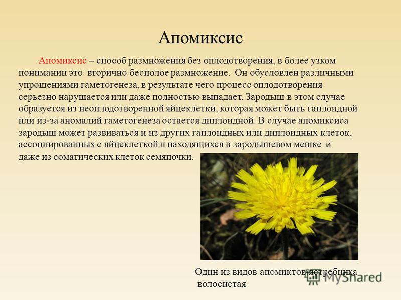 Апомиксис Апомиксис – способ размножения без оплодотворения, в более узком понимании это вторично бесполое размножение. Он обусловлен различными упрощениями гаметогенеза, в результате чего процесс оплодотворения серьезно нарушается или даже полностью