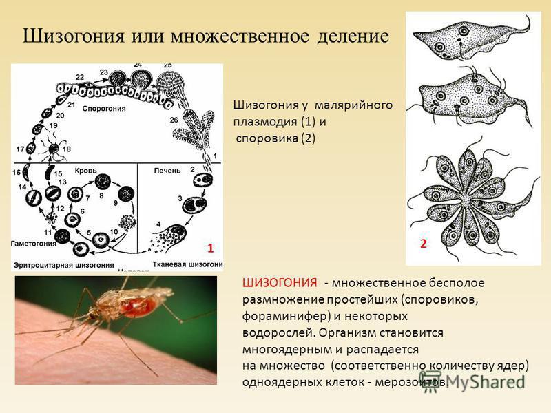 Шизогония или множественное деление ШИЗОГОНИЯ - множественное бесполое размножение простейших (споровиков, фораминифер) и некоторых водорослей. Организм становится многоядерным и распадается на множество (соответственно количеству ядер) одноядерных к