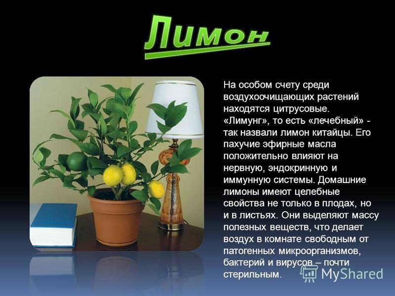 На особом счету среди воздухоочищающих растений находятся цитрусовые. «Лимунг», то есть «лечебный» - так назвали лимон китайцы. Его пахучие эфирные масла положительно влияют на нервную, эндокринную и иммунную системы. Домашние лимоны имеют целебные с