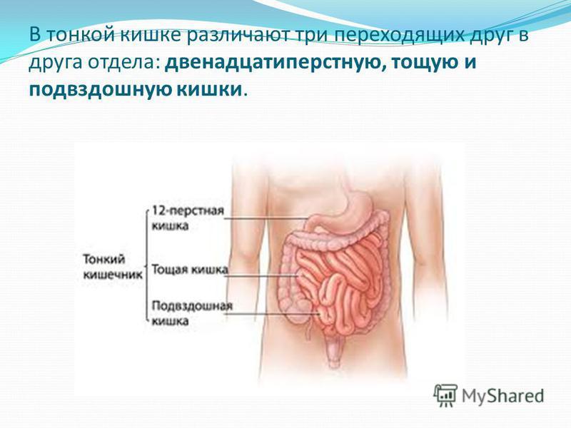 В тонкой кишке различают три переходящих друг в друга отдела: двенадцатиперстную, тощую и подвздошную кишки.