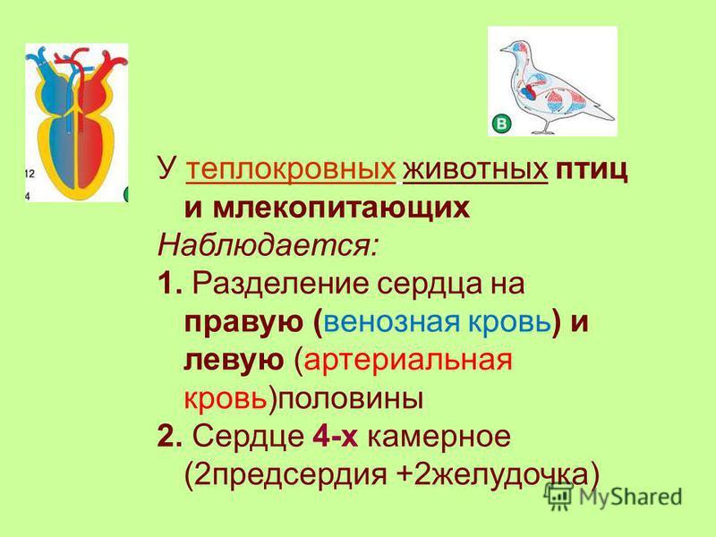 У теплокровных животных птиц и млекопитающих Наблюдается: 1. Разделение сердца на правую (венозная кровь) и левую (артериальная кровь)половины 2. Сердце 4-х камерное (2 предсердия +2 желудочка)