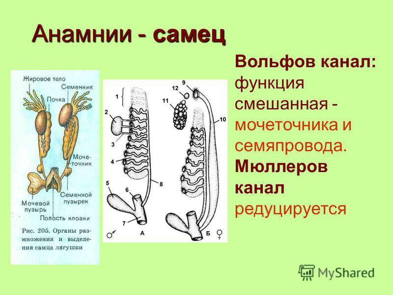 Анамнии - самец Вольфов канал: функция смешанная - мочеточника и семяпровода. Мюллеров канал редуцируется