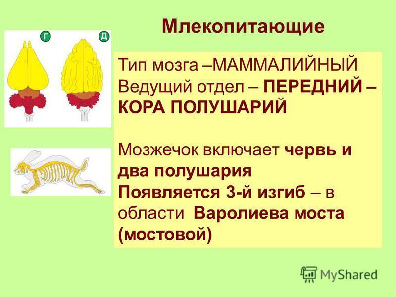 Млекопитающие Тип мозга –МАММАЛИЙНЫЙ Ведущий отдел – ПЕРЕДНИЙ – КОРА ПОЛУШАРИЙ Мозжечок включает червь и два полушария Появляется 3-й изгиб – в области Варолиева моста (мостовой)