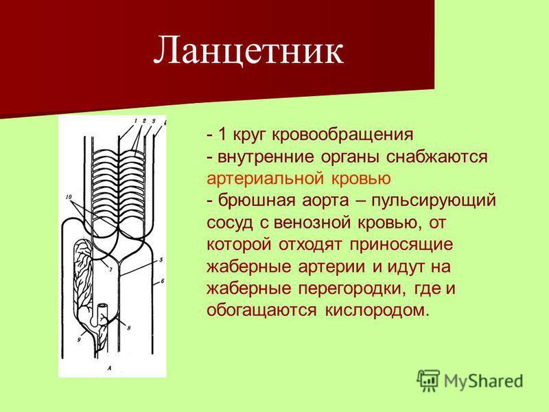 Ланцетник - 1 круг кровообращения - внутренние органы снабжаются артериальной кровью. - брюшная аорта – пульсирующий сосуд с венозной кровью, от которой отходят приносящие жаберные артерии и идут на жаберные перегородки, где и обогащаются кислородом.