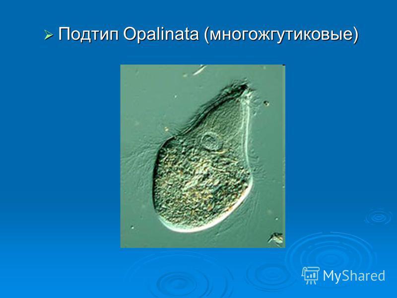 Подтип Opalinata (многожгутиковые) Подтип Opalinata (многожгутиковые)