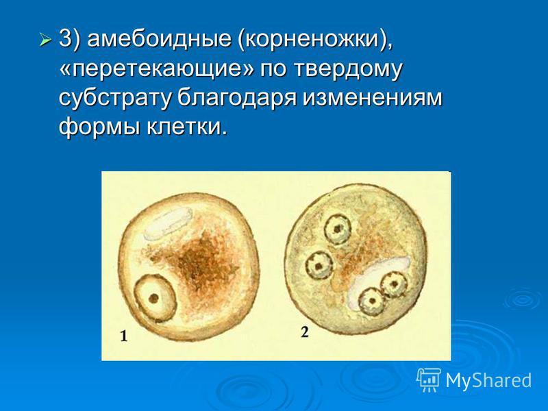 3) амебоидные (корненожки), «перетекающие» по твердому субстрату благодаря изменениям формы клетки. 3) амебоидные (корненожки), «перетекающие» по твердому субстрату благодаря изменениям формы клетки.