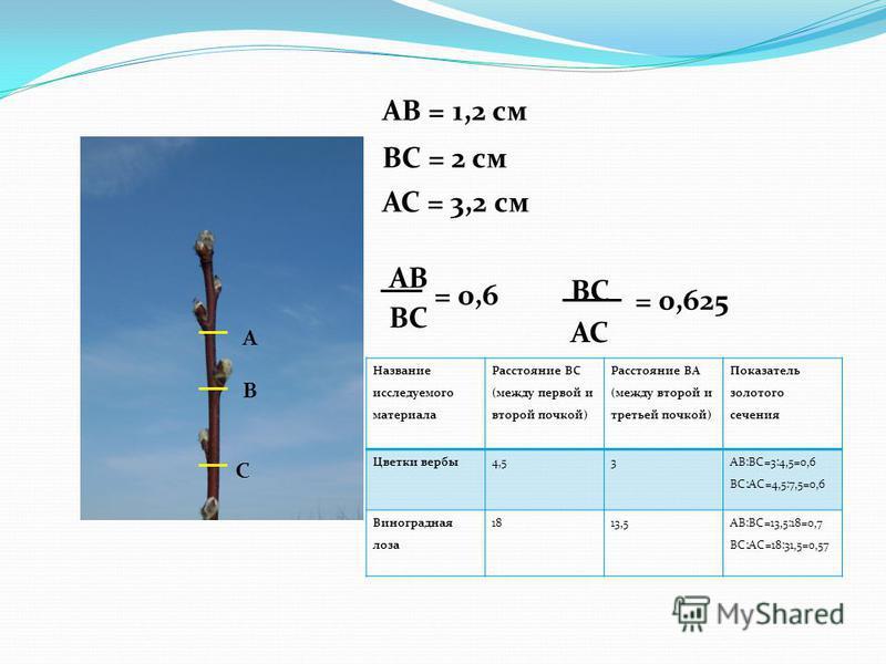 А В С АВ = 1,2 см АС = 3,2 см ВС = 2 см АВ ВС АС = 0,6 = 0,625 Название исследуемого материала Расстояние ВС (между первой и второй почкой) Расстояние ВА (между второй и третьей почкой) Показатель золотого сечения Цветки вербы 4,53 АВ:ВС=3:4,5=0,6 В