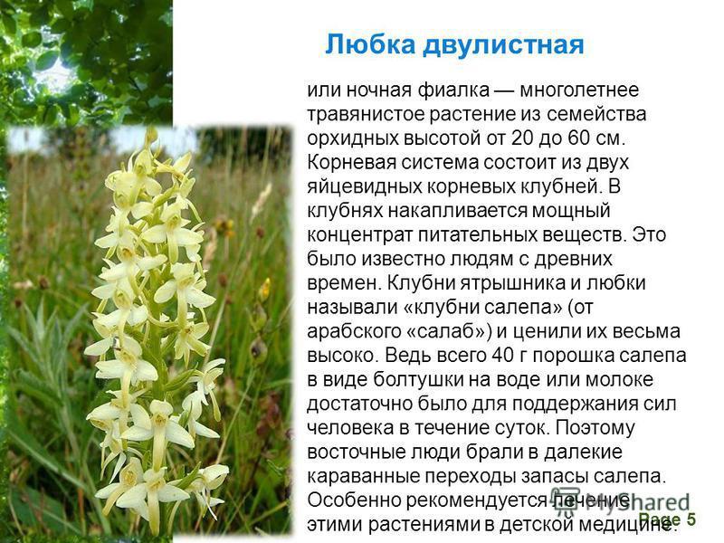 Free Powerpoint Templates Page 5 Любка двулистная или ночная фиалка многолетнее травянистое растение из семейства орхидных высотой от 20 до 60 см. Корневая система состоит из двух яйцевидных корневых клубней. В клубнях накапливается мощный концентрат