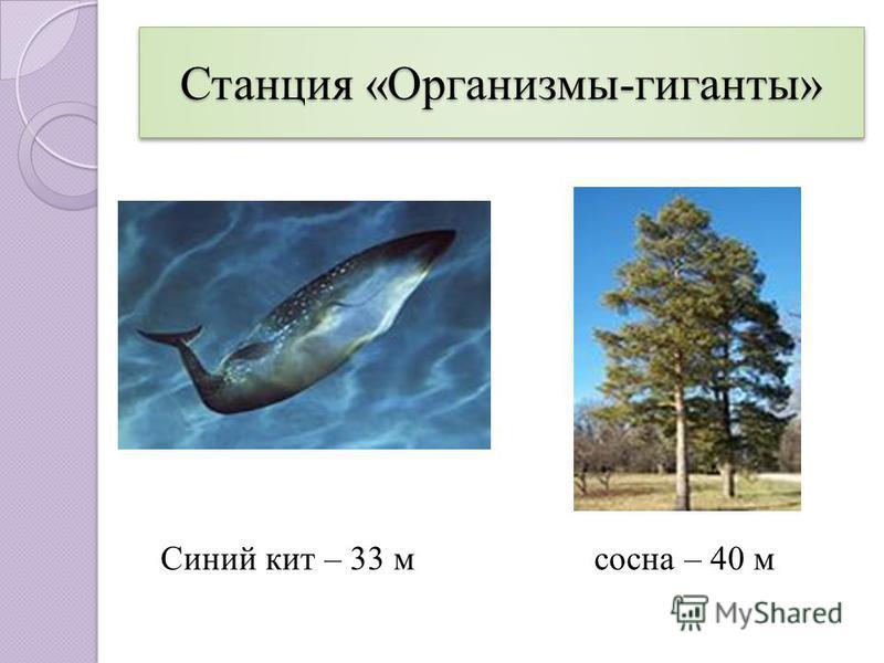 Станция «Организмы-гиганты» Синий кит – 33 м сосна – 40 м