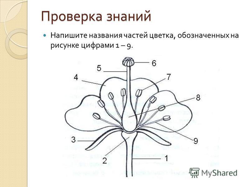 Проверка знаний Напишите названия частей цветка, обозначенных на рисунке цифрами 1 – 9.