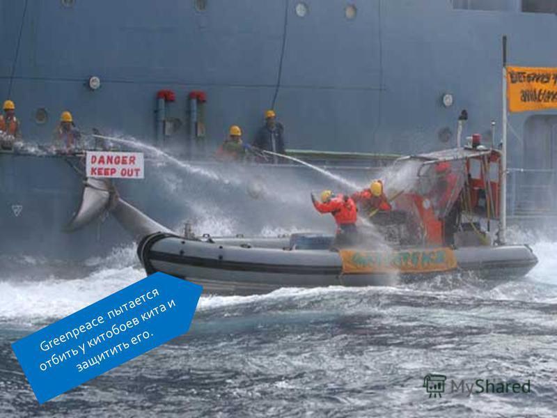 Greenpeace пытается отбить у китобоев кита и защитить его.