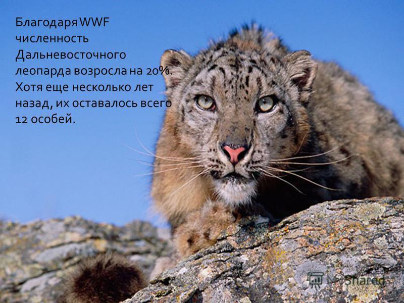 Благодаря WWF численность Дальневосточного леопарда возросла на 20%. Хотя еще несколько лет назад, их оставалось всего 12 особей.