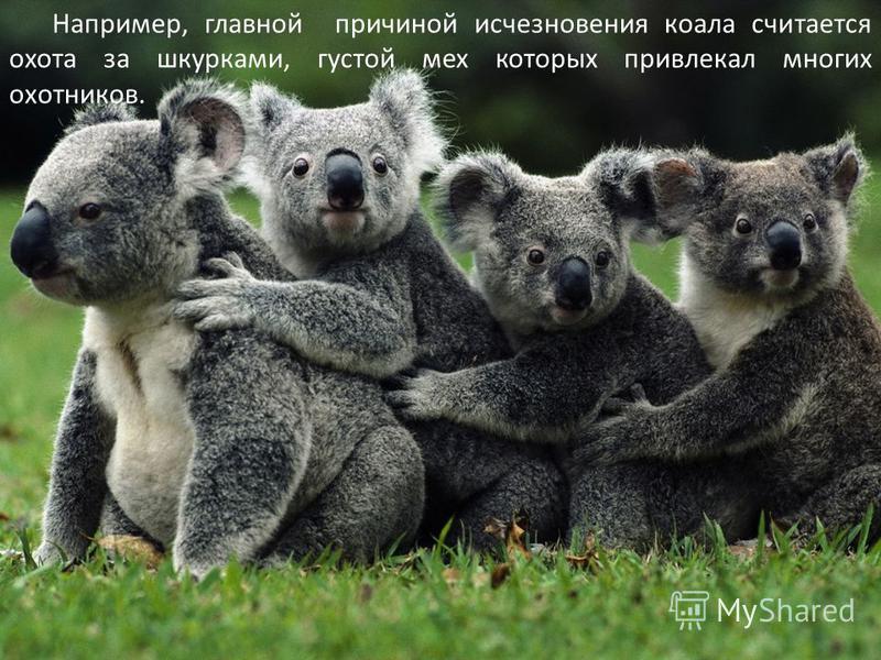 Например, главной причиной исчезновения коала считается охота за шкурками, густой мех которых привлекал многих охотников.