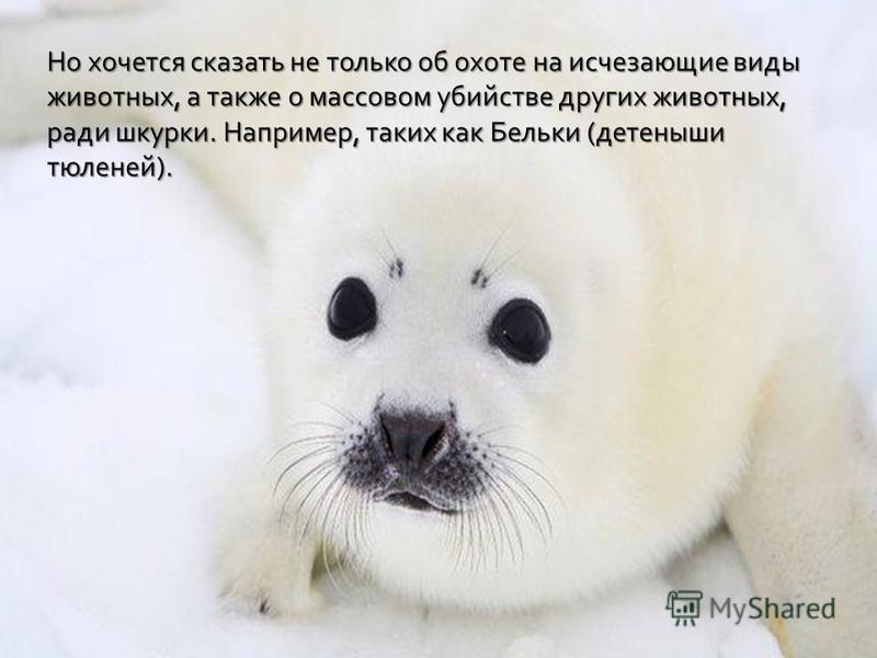 Но хочется сказать не только об охоте на исчезающие виды животных, а также о массовом убийстве других животных, ради шкурки. Например, таких как Бельки (детеныши тюленей).