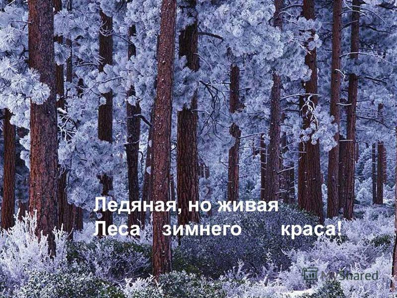 Ледяная, но живая Леса зимнего краса!