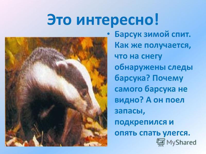Это интересно! Барсук зимой спит. Как же получается, что на снегу обнаружены следы барсука? Почему самого барсука не видно? А он поел запасы, подкрепился и опять спать улегся.