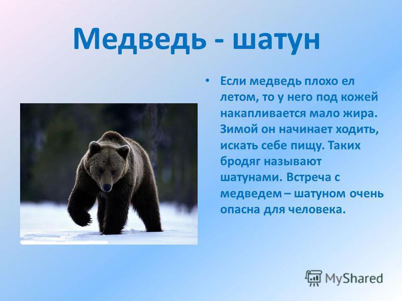 Медведь - шатун Если медведь плохо ел летом, то у него под кожей накапливается мало жира. Зимой он начинает ходить, искать себе пищу. Таких бродяг называют шатунами. Встреча с медведем – шатуном очень опасна для человека.