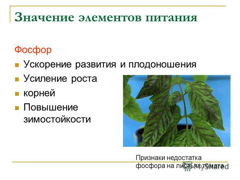 Значение элементов питания Фосфор Ускорение развития и плодоношения Усиление роста корней Повышение зимостойкости Признаки недостатка фосфора на листьях томата.