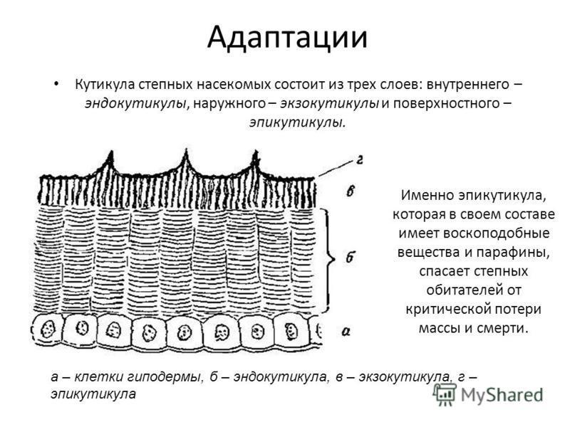 Адаптации Кутикула степных насекомых состоит из трех слоев: внутреннего – эндокутикулы, наружного – экзокутикулы и поверхностного – эпикутикулы. Именно эпикутикула, которая в своем составе имеет воскоподобные вещества и парафины, спасает степных обит