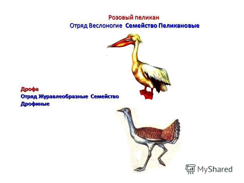 Розовый пеликан Отряд Веслоногие Семейство Пеликановые Дрофа Отряд Журавлеобразные Семейство Дрофиные