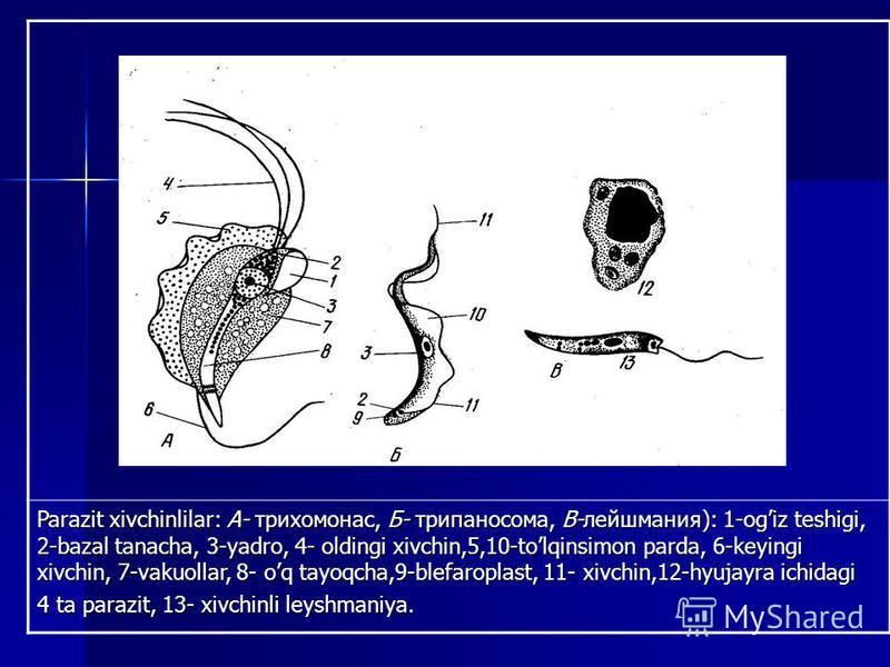 Parazit xivchinlilar: А- трихомонас, Б- трипаносома, В-лейшмания): 1-ogiz teshigi, 2-bazal tanacha, 3-yadro, 4- oldingi xivchin,5,10-tolqinsimon parda, 6-keyingi xivchin, 7-vakuollar, 8- oq tayoqcha,9-blefaroplast, 11- xivchin,12-hyujayra ichidagi 4