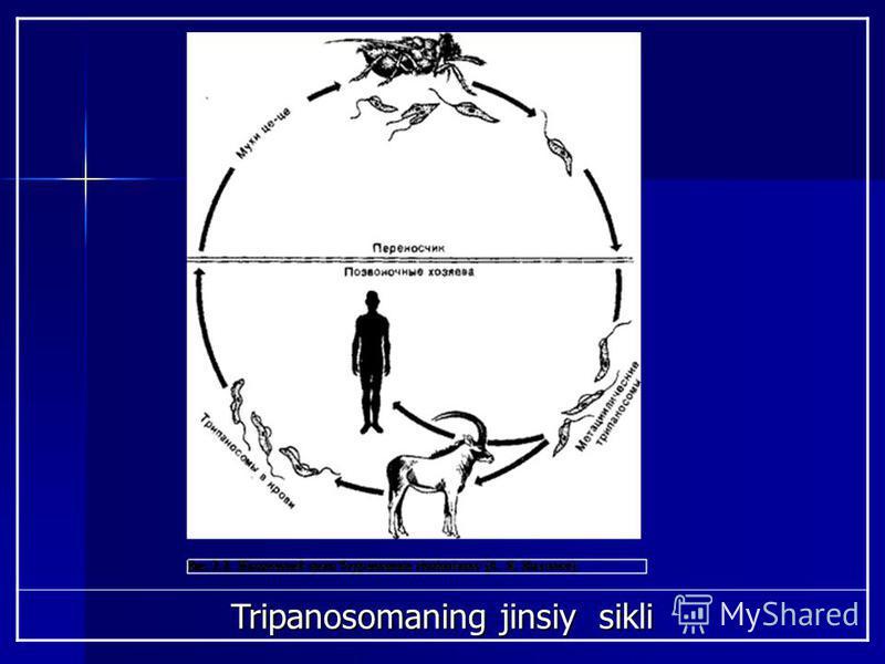 Tripanosomaning jinsiy sikli